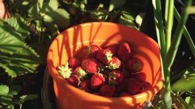 A mão escolhe uma morango vermelha de um arbusto e põe-na em uma cubeta um fazendeiro colhe uma baga madura a mão do jardineiro video estoque