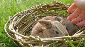A mão fêmea afaga delicadamente os coelhos um macios bonitos semanais pequenos recém-nascidos em uma cesta de vime na grama verde filme