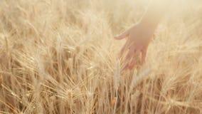 A mão fêmea afaga os spikelets do trigo maduro no por do sol vídeos de arquivo
