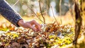 Mão fêmea aproximadamente para escolher uma flor roxa adiantada da mola Fotos de Stock Royalty Free