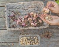 Mão fêmea - bulbos classificados do tipo de flor Imagens de Stock Royalty Free