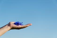 Mão fêmea com centáurea no fundo do céu azul Foto de Stock