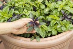Mão fêmea que guardara a manjericão escura doce fresca e saudável da folha em P fotos de stock