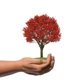 Mão fêmea que guardara uma árvore vermelha grande Fotos de Stock