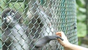 Mão fêmea que joga com o macaco na gaiola vídeos de arquivo