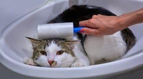 Mão fêmea que limpa um gato com um rolo no retrato do animal do dissipador fotografia de stock