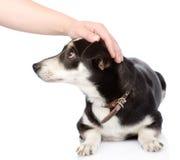 Mão fêmea que patting a cabeça de cão No fundo branco Fotos de Stock