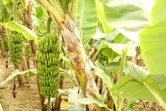 Mão grande de bananas verdes em um ramo de palmeira antes da estação de colheita Fotos de Stock