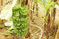 Mão grande de bananas verdes em um ramo de palmeira antes da estação de colheita Imagens de Stock Royalty Free