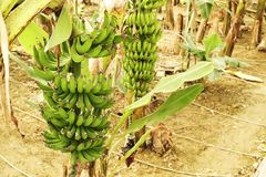 Mão grande de bananas verdes em um ramo de palmeira antes da estação de colheita Fotografia de Stock