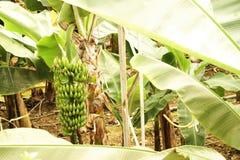 Mão grande de bananas verdes em um ramo de palmeira antes da estação de colheita Imagens de Stock