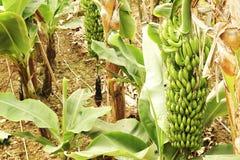 Mão grande de bananas verdes em um ramo de palmeira antes da estação de colheita Foto de Stock