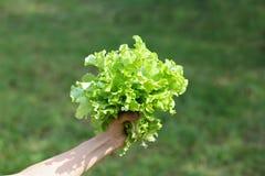 A mão guarda a alface fresca, no fundo verde borrado Fotografia de Stock Royalty Free
