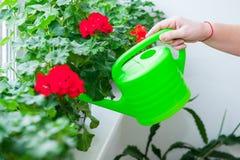 Mão humana que guarda a lata molhando e que molha potenciômetros de flores vermelhos do gerânio na soleira indoor Foco seletivo imagem de stock