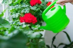 Mão humana que guarda a lata molhando e que molha potenciômetros de flores vermelhos do gerânio na soleira indoor Foco seletivo foto de stock royalty free