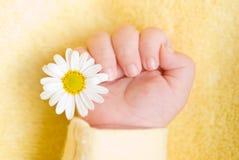 Mão infantil encantadora com margarida Fotografia de Stock