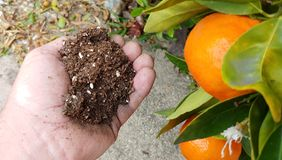 Mão masculina adulta que guarda a mistura orgânica do solo do adubo ao lado das tangerinas maduras imagens de stock
