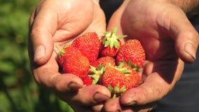 A mão masculina mostra morangos vermelhas em suas mãos o fazendeiro recolhe a baga madura Close-up A favor do meio ambiente vídeos de arquivo