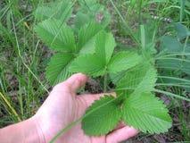A mão mostra as grandes folhas verdes do morango silvestre fotografia de stock