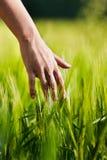 Mão no campo de trigo Imagens de Stock