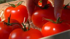 A mão põe o tomate suculento maduro em uma caixa de madeira vídeos de arquivo