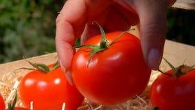 A mão põe o tomate suculento maduro em uma caixa de madeira video estoque