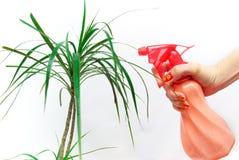 A mão polvilha a planta Imagem de Stock Royalty Free