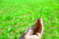 A mão prende uma grama verde Foto de Stock Royalty Free
