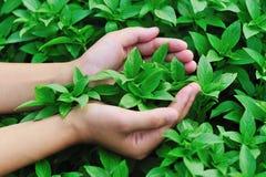 A mão protege a planta da manjericão Imagens de Stock Royalty Free