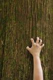 Mão que agarra acima de um tronco de árvore do cedro Imagens de Stock Royalty Free