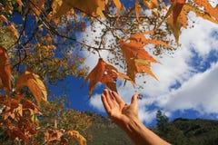 Mão que alcanga para as folhas de outono foto de stock