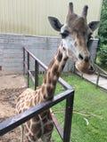 Mão que alimenta o Giraffees fotos de stock royalty free