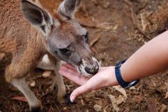 Mão que alimenta um canguru imagem de stock