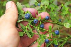 Mão que arranca bagas maduras da uva-do-monte Colhendo mirtilos fotografia de stock royalty free