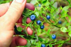 Mão que arranca bagas maduras da uva-do-monte Colhendo mirtilos imagem de stock royalty free