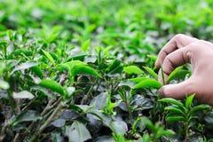 Mão que arranca o botão das folhas de chá em um jardim de chá para o chá branco e verde orgânico imagens de stock royalty free