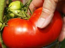 Mão que escolhe o grande tomatoe vermelho imagem de stock royalty free