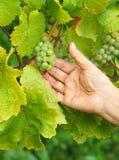 Mão que escolhe uvas verdes Fotos de Stock