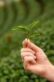 Mão que guarda as folhas frescas de um chá verde Colhendo a plantação de chá Foto de Stock Royalty Free