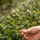 Mão que guarda as folhas frescas do chá Plantações de chá Imagem de Stock