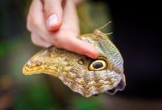 Mão que guarda a grande borboleta Imagens de Stock