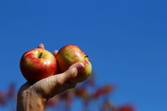 Mão que guarda maçãs frescas fotos de stock