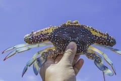 Mão que guarda o caranguejo fresco com céu azul Fotografia de Stock