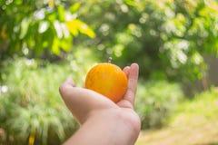 Mão que guarda o fruto alaranjado pequeno no fundo do verde da natureza Fotos de Stock
