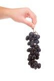 Mão que guarda o fruto da uva vermelha Fotografia de Stock Royalty Free