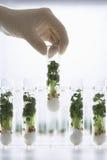 Mão que guarda o tubo de ensaio que contém Cress Seedlings Fotografia de Stock Royalty Free