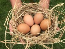 Mão que guarda ovos frescos no ninho imagem de stock
