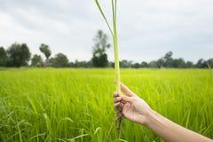 Mão que guarda a planta de arroz com fundo do campo Fotografia de Stock