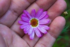 Mão que guarda uma flor entre os dedos Fotografia de Stock
