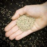 Mão que guardara a semente da grama Fotos de Stock